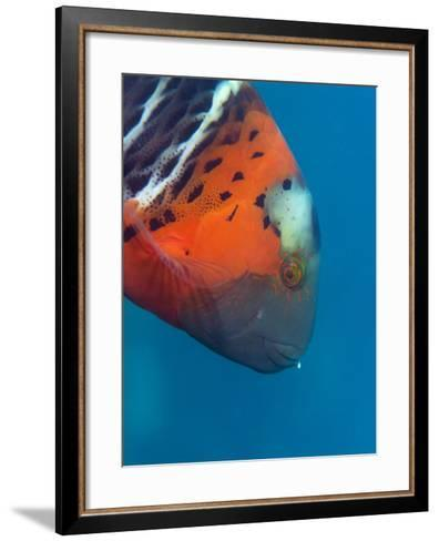 Red-Banded Wrasse (Cheilinus Fasciatus), Cairns, Queensland, Australia, Pacific-Louise Murray-Framed Art Print