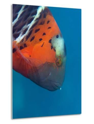 Red-Banded Wrasse (Cheilinus Fasciatus), Cairns, Queensland, Australia, Pacific-Louise Murray-Metal Print
