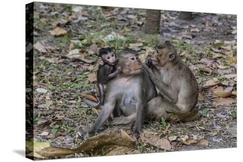 Long-Tailed Macaques (Macaca Fascicularis) Grooming Near Angkor Thom, Siem Reap, Cambodia-Michael Nolan-Stretched Canvas Print