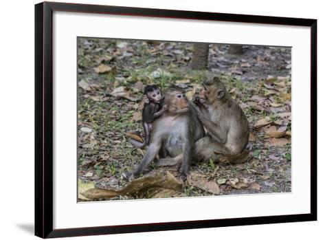 Long-Tailed Macaques (Macaca Fascicularis) Grooming Near Angkor Thom, Siem Reap, Cambodia-Michael Nolan-Framed Art Print