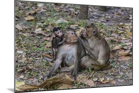 Long-Tailed Macaques (Macaca Fascicularis) Grooming Near Angkor Thom, Siem Reap, Cambodia-Michael Nolan-Mounted Photographic Print