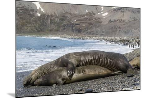 Southern Elephant Seals (Mirounga Leonina) Mating, St. Andrews Bay, South Georgia, Polar Regions-Michael Nolan-Mounted Photographic Print