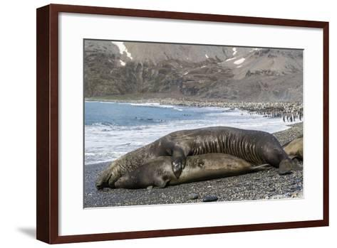 Southern Elephant Seals (Mirounga Leonina) Mating, St. Andrews Bay, South Georgia, Polar Regions-Michael Nolan-Framed Art Print