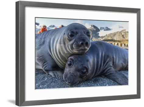 Southern Elephant Seal Pups (Mirounga Leonina), Gold Harbor, South Georgia, Polar Regions-Michael Nolan-Framed Art Print