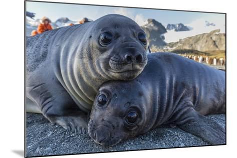 Southern Elephant Seal Pups (Mirounga Leonina), Gold Harbor, South Georgia, Polar Regions-Michael Nolan-Mounted Photographic Print