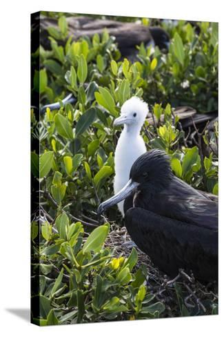 Mother Frigate Bird Tenaciously Protects Her Chick-Roberto Moiola-Stretched Canvas Print