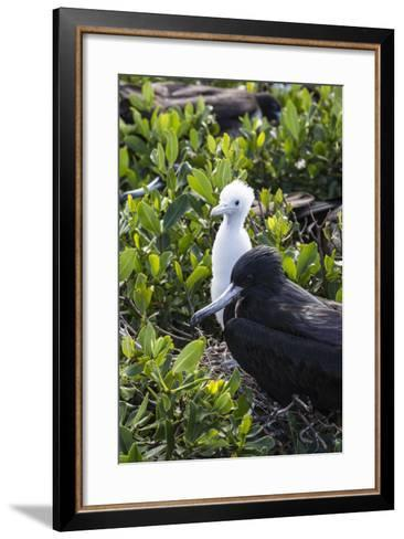 Mother Frigate Bird Tenaciously Protects Her Chick-Roberto Moiola-Framed Art Print