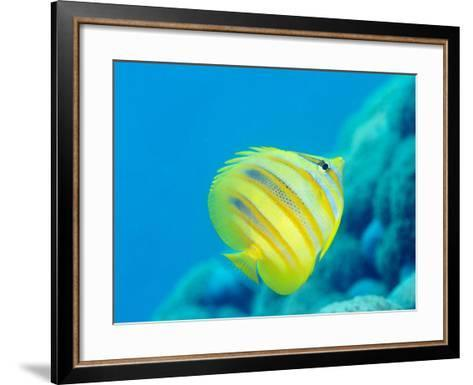 Rainford's Butterflyfish (Chaetodon Rainfordi), Cairns, Queensland, Australia, Pacific-Louise Murray-Framed Art Print