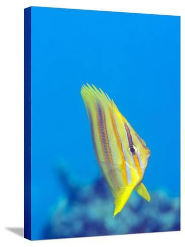 Rainford's Butterflyfish (Chaetodon Rainfordi), Cairns, Queensland, Australia, Pacific-Louise Murray-Stretched Canvas Print