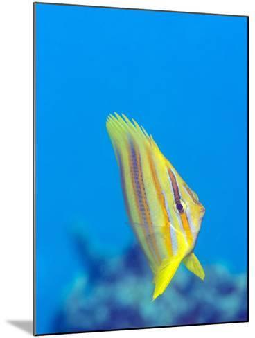 Rainford's Butterflyfish (Chaetodon Rainfordi), Cairns, Queensland, Australia, Pacific-Louise Murray-Mounted Photographic Print
