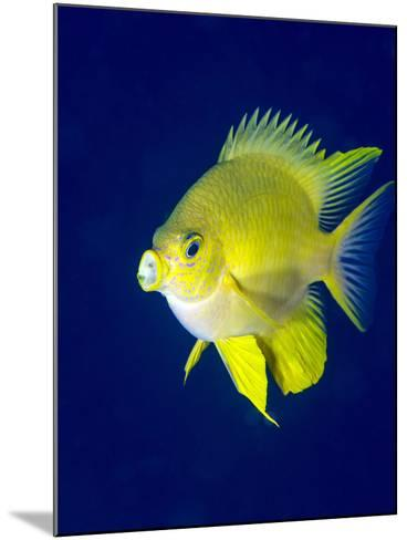 Golden Damselfish (Amblyglyphidodon Aureus) a Zoo Plankton Feeding Coral Reef Fish-Louise Murray-Mounted Photographic Print