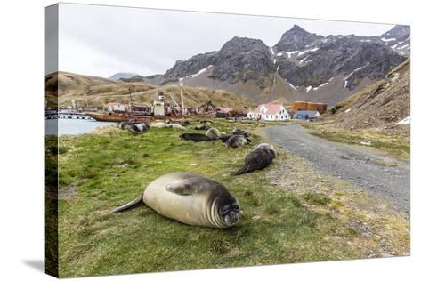 Southern Elephant Seal Pups (Mirounga Leonina) after Weaning in Grytviken Harbor, South Georgia-Michael Nolan-Stretched Canvas Print