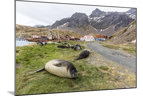 Southern Elephant Seal Pups (Mirounga Leonina) after Weaning in Grytviken Harbor, South Georgia-Michael Nolan-Mounted Photographic Print