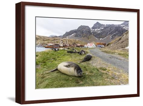 Southern Elephant Seal Pups (Mirounga Leonina) after Weaning in Grytviken Harbor, South Georgia-Michael Nolan-Framed Art Print