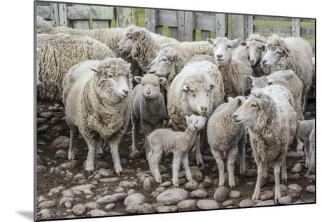 Sheep Waiting to Be Shorn at Long Island Sheep Farms, Outside Stanley, Falkland Islands-Michael Nolan-Mounted Photographic Print