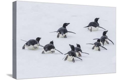 Adelie Penguins (Pygoscelis Adeliae) Tobogganing to the Sea at Brown Bluff-Michael Nolan-Stretched Canvas Print