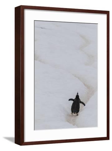 Gentoo Penguin (Pygoscelis Papua) Climbing Penguin Highway on Cuverville Island, Antarctica-Michael Nolan-Framed Art Print