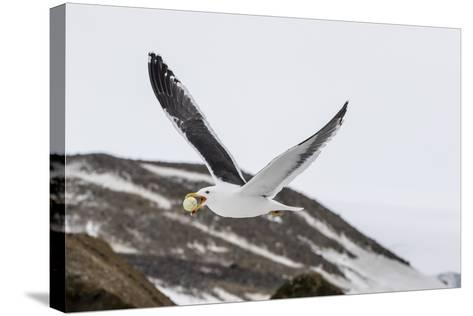 Adult Kelp Gull (Larus Dominicanus) with Stolen Adelie Penguin Egg in its Bill at Brown Bluff-Michael Nolan-Stretched Canvas Print