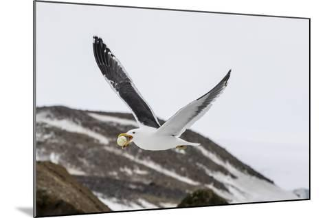 Adult Kelp Gull (Larus Dominicanus) with Stolen Adelie Penguin Egg in its Bill at Brown Bluff-Michael Nolan-Mounted Photographic Print
