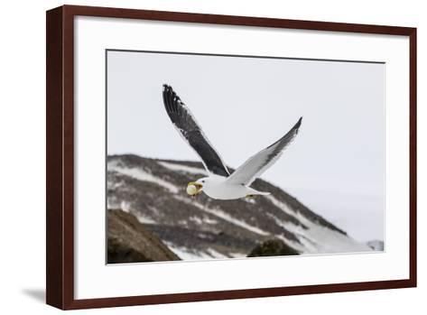 Adult Kelp Gull (Larus Dominicanus) with Stolen Adelie Penguin Egg in its Bill at Brown Bluff-Michael Nolan-Framed Art Print