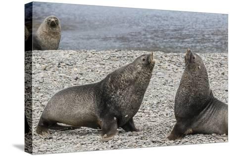 Adult Bull Antarctic Fur Seals (Arctocephalus Gazella) Fighting in Stromness Harbor, South Georgia-Michael Nolan-Stretched Canvas Print