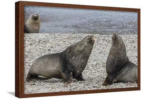 Adult Bull Antarctic Fur Seals (Arctocephalus Gazella) Fighting in Stromness Harbor, South Georgia-Michael Nolan-Framed Art Print