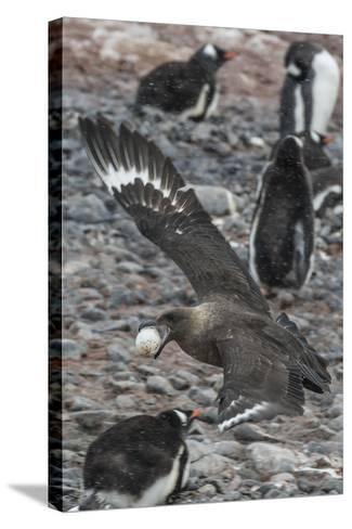 An Adult Brown Skua (Stercorarius Spp)-Michael Nolan-Stretched Canvas Print