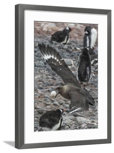 An Adult Brown Skua (Stercorarius Spp)-Michael Nolan-Framed Art Print