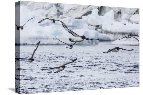 Adult Cape Petrels (Daption Capense) Feeding at Brown Bluff, Antarctica, Polar Regions-Michael Nolan-Stretched Canvas Print
