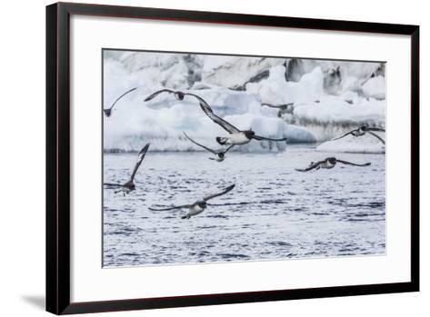 Adult Cape Petrels (Daption Capense) Feeding at Brown Bluff, Antarctica, Polar Regions-Michael Nolan-Framed Art Print