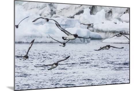 Adult Cape Petrels (Daption Capense) Feeding at Brown Bluff, Antarctica, Polar Regions-Michael Nolan-Mounted Photographic Print