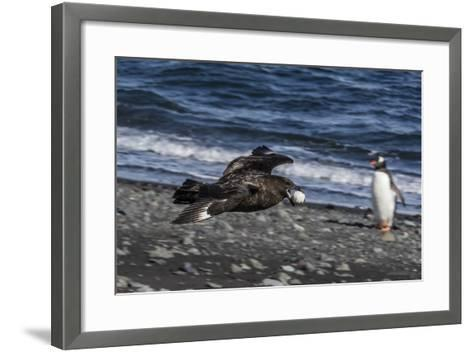 An Adult Brown Skua (Stercorarius Spp)-Michael Nolan-Framed Art Print