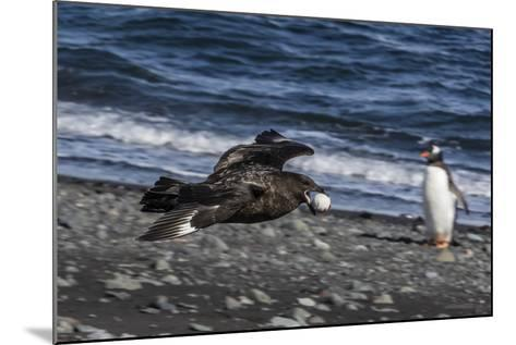 An Adult Brown Skua (Stercorarius Spp)-Michael Nolan-Mounted Photographic Print
