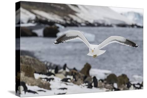 Adult Kelp Gull (Larus Dominicanus) in Flight at Brown Bluff, Antarctic Sound, Antarctica-Michael Nolan-Stretched Canvas Print