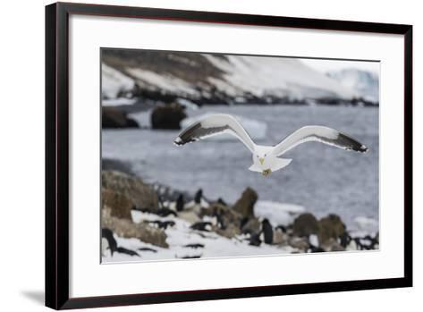 Adult Kelp Gull (Larus Dominicanus) in Flight at Brown Bluff, Antarctic Sound, Antarctica-Michael Nolan-Framed Art Print