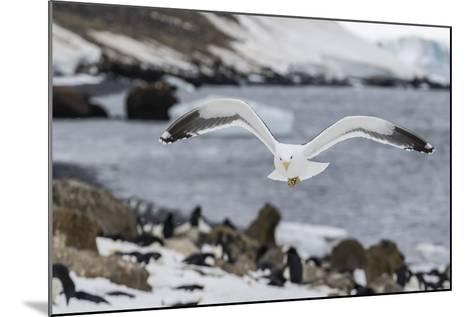 Adult Kelp Gull (Larus Dominicanus) in Flight at Brown Bluff, Antarctic Sound, Antarctica-Michael Nolan-Mounted Photographic Print