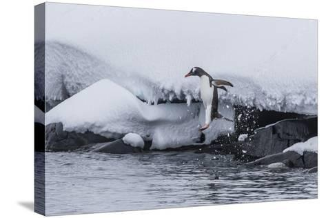 Gentoo Penguin (Pygoscelis Papua) Leaping into the Sea at Booth Island, Antarctica, Polar Regions-Michael Nolan-Stretched Canvas Print