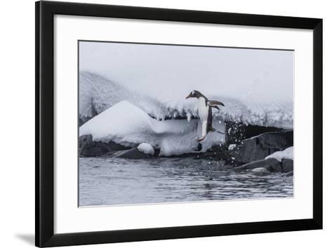 Gentoo Penguin (Pygoscelis Papua) Leaping into the Sea at Booth Island, Antarctica, Polar Regions-Michael Nolan-Framed Art Print