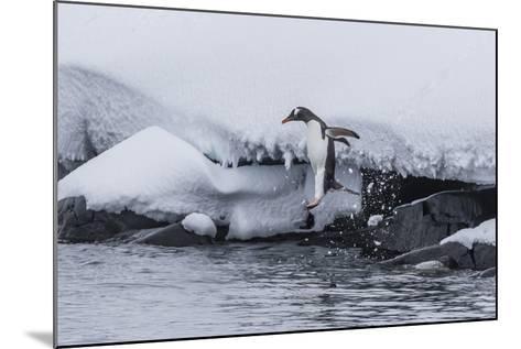 Gentoo Penguin (Pygoscelis Papua) Leaping into the Sea at Booth Island, Antarctica, Polar Regions-Michael Nolan-Mounted Photographic Print