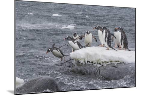 Gentoo Penguins Returning to Sea from Breeding Colony at Port Lockroy, Antarctica-Michael Nolan-Mounted Photographic Print