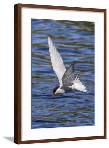 Antarctic Tern (Sterna Vittata Georgiae) in Flight in Ocean Harbor, South Georgia, Polar Regions-Michael Nolan-Framed Art Print