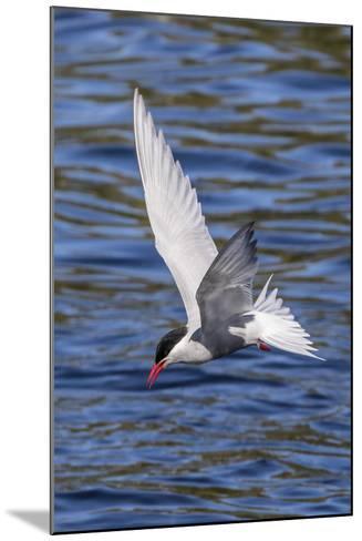 Antarctic Tern (Sterna Vittata Georgiae) in Flight in Ocean Harbor, South Georgia, Polar Regions-Michael Nolan-Mounted Photographic Print