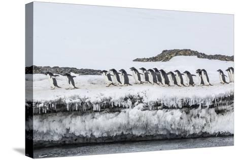 Adelie Penguins (Pygoscelis Adeliae) at Breeding Colony at Brown Bluff, Antarctica, Southern Ocean-Michael Nolan-Stretched Canvas Print
