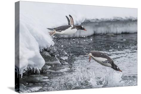 Gentoo Penguins (Pygoscelis Papua) Leaping into the Sea at Booth Island, Antarctica, Polar Regions-Michael Nolan-Stretched Canvas Print