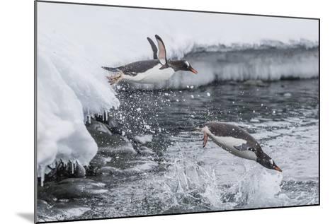 Gentoo Penguins (Pygoscelis Papua) Leaping into the Sea at Booth Island, Antarctica, Polar Regions-Michael Nolan-Mounted Photographic Print