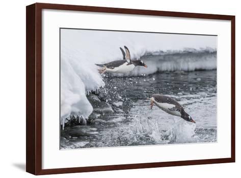 Gentoo Penguins (Pygoscelis Papua) Leaping into the Sea at Booth Island, Antarctica, Polar Regions-Michael Nolan-Framed Art Print