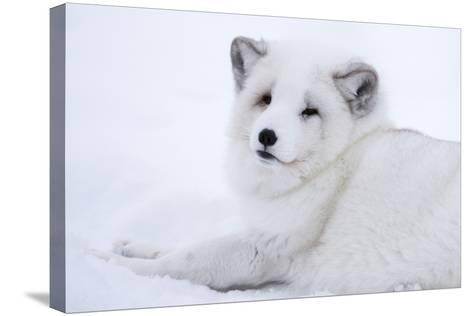 Arctic Fox (Vulpes Lagopus), Polar Park, Troms, Norway, Scandinavia-Sergio Pitamitz-Stretched Canvas Print