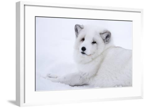 Arctic Fox (Vulpes Lagopus), Polar Park, Troms, Norway, Scandinavia-Sergio Pitamitz-Framed Art Print