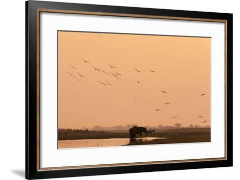 African Elephant (Loxodonta Africana), Chobe National Park, Botswana, Africa-Sergio Pitamitz-Framed Art Print