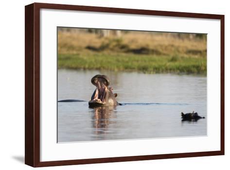 Hippopotamus (Hippopotamus Amphibius), Khwai Concession, Okavango Delta, Botswana, Africa-Sergio Pitamitz-Framed Art Print